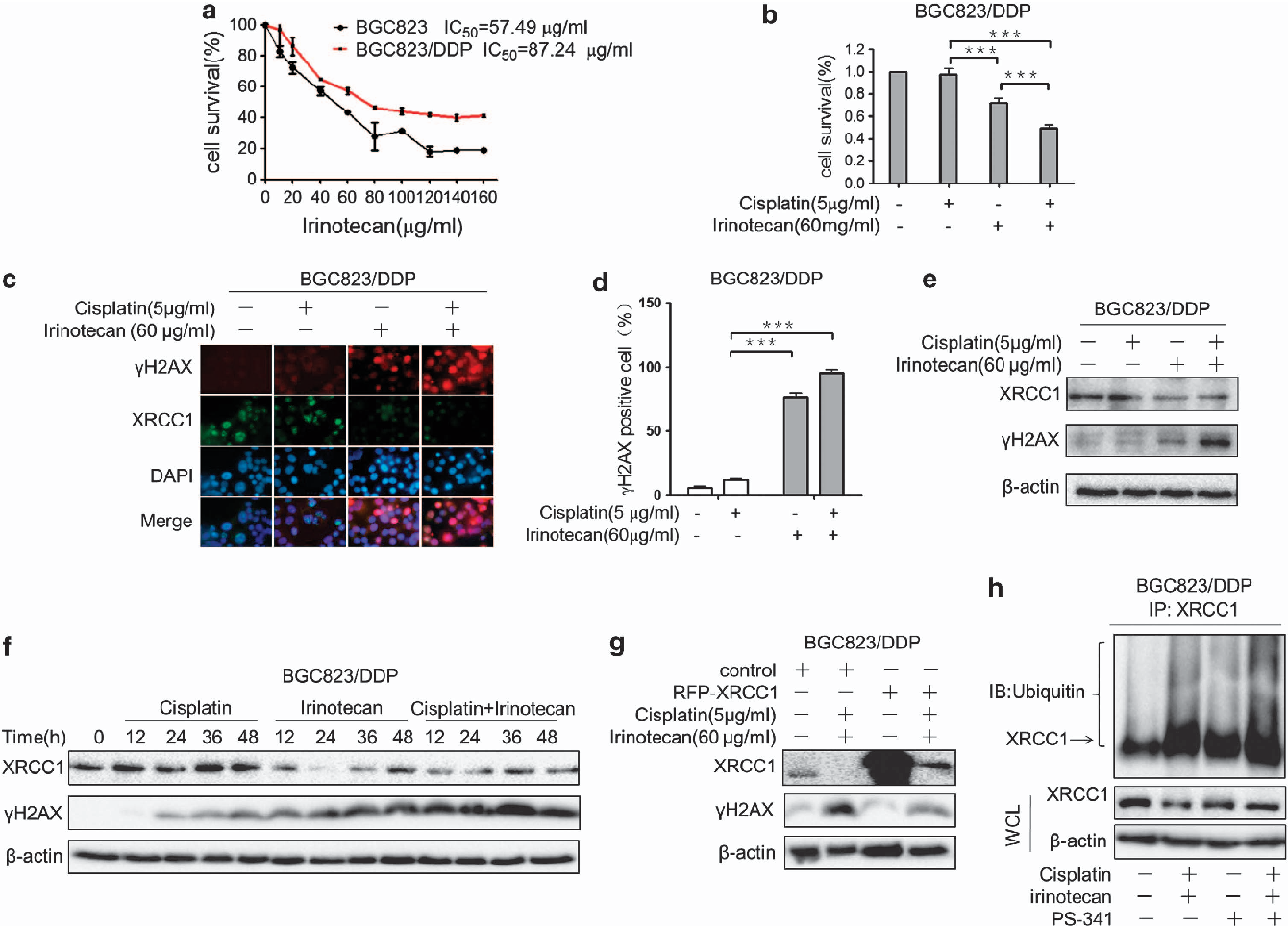 Figure 5 Irinotecan inhibits the expression of XRCC1 and enhances the sensitivity to cisplatin in resistant gastric cancer cells. (a) The viability of BGC823 and BGC823/ DDP cells exposed to irinotecan for 48 h was determined by CCK-8 assay. (b) The viability of BGC823/DDP cells exposed to 60mg/ml of irinotecan combined with 5 mg/ml of cisplatin for 48 h was determined by CCK-8 assay. (c) The BGC823/DDP cells exposed to 60 mg/ml of irinotecan combined with 5mg/ml of cisplatin for 24 h were analyzed with gH2AX staining. (d) Quantification of gH2AX foci-positive cells of BGC823/DDP cells exposed to 60 mg/ml of irinotecan combined with 5 mg/ml of cisplatin. (e) Western blotting determined the levels of XRCC1 and gH2AX in BGC823/DDP cells exposed to 60 mg/ml of irinotecan combined with 5 mg/ml cisplatin for 24 h. (f) Western blotting determined the levels of XRCC1 and gH2AX in BGC823/DDP cells exposed to 60 mg/ml of irinotecan combined with 5mg/ml of cisplatin for 0, 12, 24, 24, 36, and 48 h. (g) Western blotting determined the level of XRCC1 and gH2AX in BGC823/DDP cells transfected with RFP-XRCC1. (h) The BGC823/DDP cells treated with 60mg/ml of irinotecan combined with 5mg/ml of cisplatin for 24 h then treated with 50 mM PS-341 for 6 h. Western blotting was performed to confirm the levels of XRCC1 and immunoprecipitation was used to show the ubiquitination of XRCC1. Results are representative of at least three experiments and shown as the mean±S.D. ***Po0.001