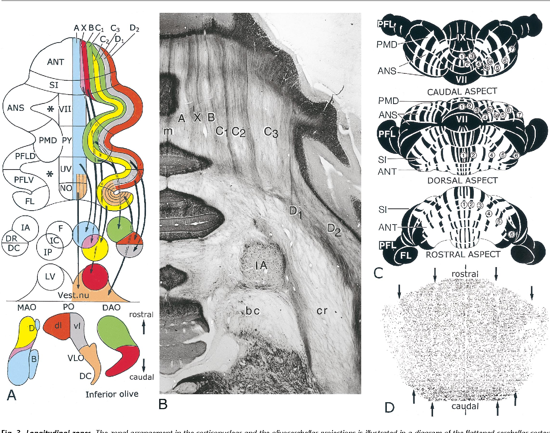 Figure 3 from The anatomy of the cerebellum. - Semantic Scholar