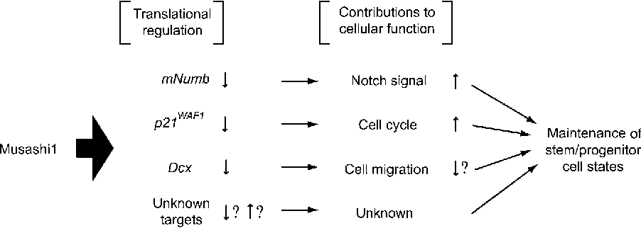 Figure 2 Multiple pathways to maintain stem/progenitor cell states by Musashi1. Translational inhibition of various targets genes by Musashi1 might maintain the stem/progenitor cell states syntagmatically.