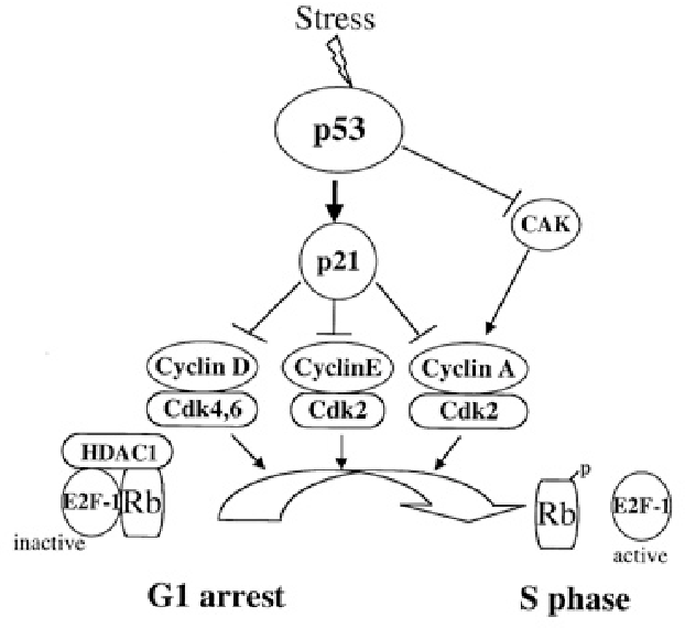 Regulation Of Cell Cycle Progression And Cellular Survival In