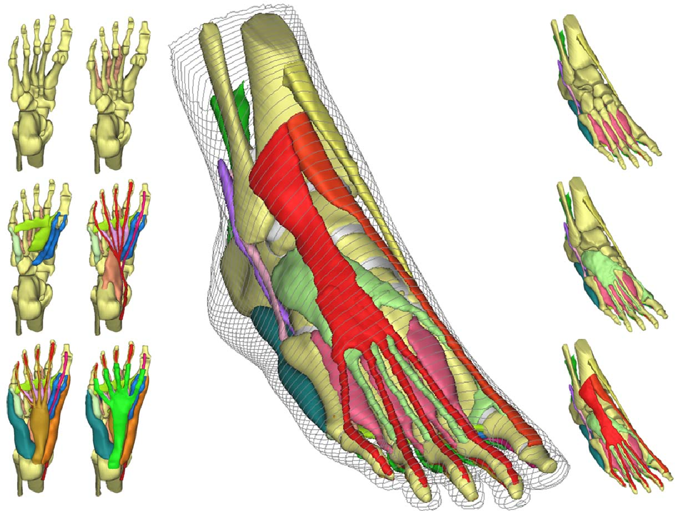 3 D Muscle Detailed Ankle Foot Model For Finite Element Analysis