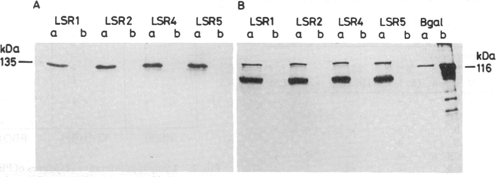 FIG. 1. Immunoblot analysis of recombinant proteins from clones LSR1, -2, -4, and -5, showing reactivity to both polyvalent sera from LL leprosy patients (A) and mAb to 13-galactosidase (B). Lysates from induced (lanes a) and uninduced (lanes b) lysogens of recombinants were tested. The fusion protein bands for all four clones were at 135 kDa and were detected only in induced lysates. In B, the Bgal lanes contained lysate from induced Agtll vector in E. coli Y1089 (lane a) or commercial ,-galactosidase marker (lane b). The second band inB indicates reactivity with degraded fusion proteins.