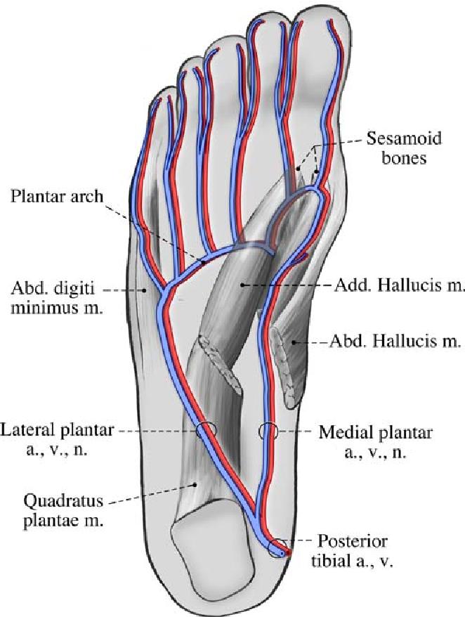 Plantar Vein Thrombosis A Rare Cause Of Plantar Foot Pain