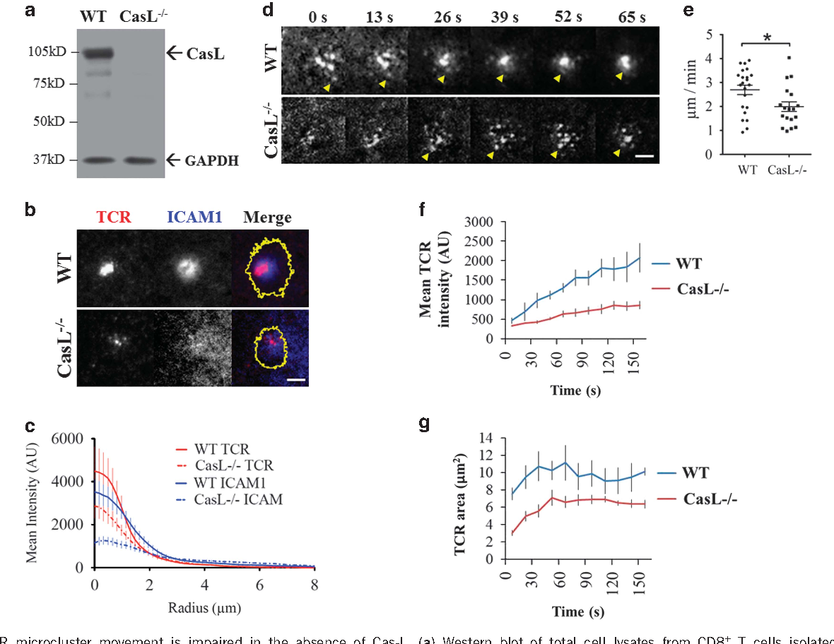 Figure 1 TCR microcluster movement is impaired in the absence of Cas-L. (a) Western blot of total cell lysates from CD8+ T cells isolated by negative selection from spleen of Cas-L-null (Cas-L− /−) mice, and from the control Cas-L heterozygous littermates (WT). A monoclonal antibody for Cas-L was used to assess the presence of Cas-L. (b) Cells were fixed in 2% paraformaldehyde 15 min after seeding, and images of synapses formed in both cell types were acquired in both channels. Red=TCR; blue= ICAM-1; yellow= synapse outline. Scale bar=2 μm. (c) Radial profiles of TCR and ICAM-1 fluorescence intensities at the synapses of WT and Cas-L− /− cells (radial sweep averaged from at least 50 cells in each cell type and two independent experiments). Solid and dashed lines represent WT and Cas-L− /− cells, respectively. Red=TCR, blue= ICAM-1. P-valueo0.05 (d) Time-lapse images of TCR microcluster formation and translocation at the immunological synapse. Yellow arrowheads highlight individual TCR microcluster position at the synapse at different time points. Freshly isolated CD8+ T cells from spleen of WT or Cas-L− /− mice were seeded on a bilayer embedded with fluorescently labeled antibody to TCR (red) and ICAM-1 (blue), and imaged in a TIRF microscope to follow immunological synapse formation. Simultaneous imaging of four different fields of the bilayer was performed with a ×100 objective, with an acquisition rate of 13 s between frames. Scale bar=5 μm. (e) Average speed of translocation of individual TCR microclusters during synapse formation. Mean± s.e.m. represent two independent experiments. At least five individual microclusters per cell were analyzed in at least three cells. One asterisk indicates P-value⩽0.05. (f) Change in mean fluorescence intensity of TCR microclusters during synapse formation in WT and Cas-L− /− cells. Mean values of four cells of each type, pooled from two independent experiments. P-valueo0.0005. (g) Change in area occupied by TCR microclusters a