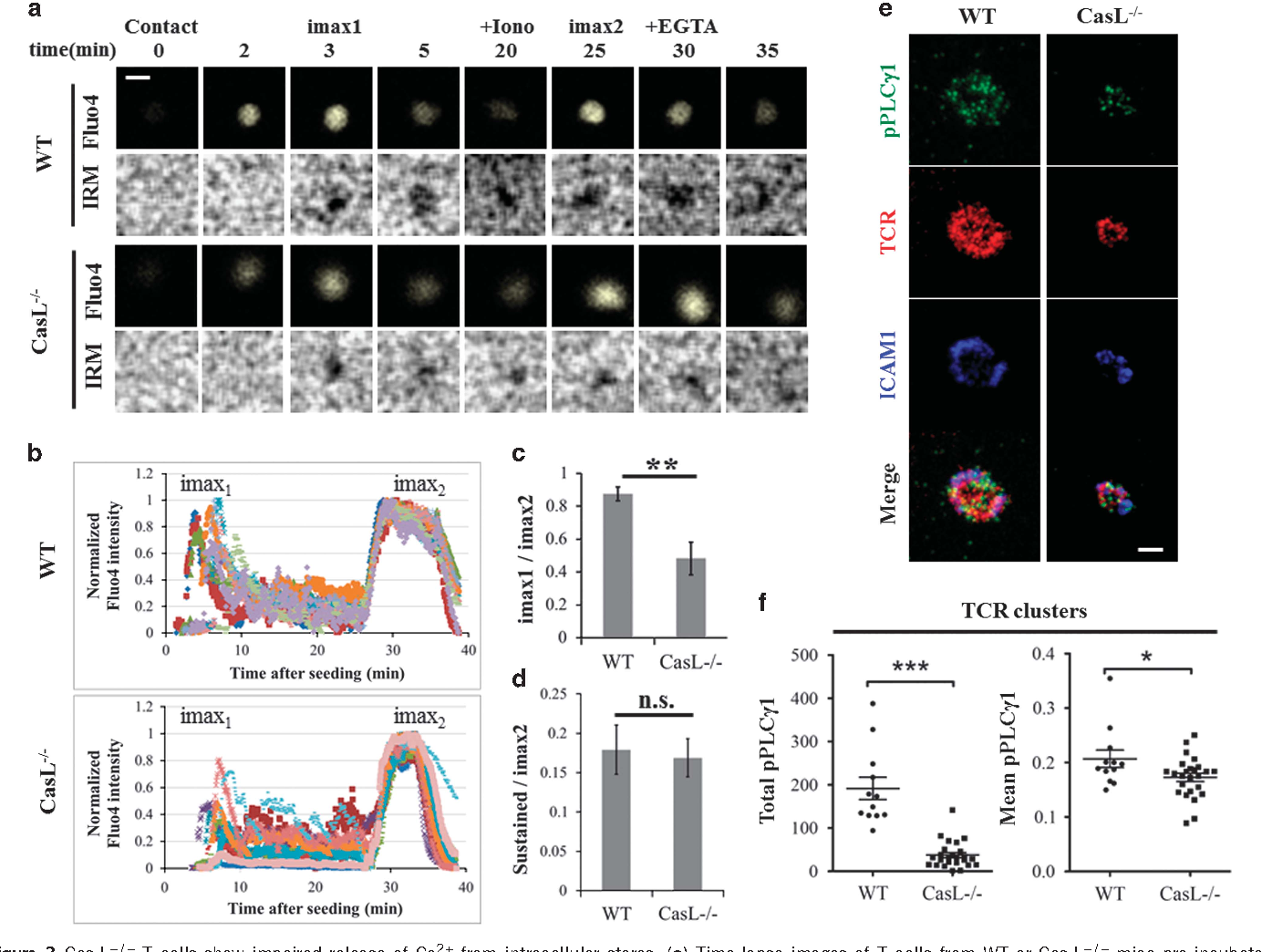 Figure 3 Cas-L− /− T cells show impaired release of Ca2+ from intracellular stores. (a) Time-lapse images of T cells from WT or Cas-L− /− mice pre-incubated with Calcium ion fluorescent dye Fluo-4, and seeded on glass coverslips coated with antibodies against TCR/CD28 and ICAM-1. Changes in free intracellular Ca2+ levels were captured in the 488 nm channel (widefield, Fluo-4 top panel), and images of the contact between a cell and the coverslip were visible through internal reflection microscopy (IRM bottom panel). Ionomycin was added to the medium at ~20 min (+Iono), and EGTA was added at ~30 min. The acquisition rate was 4 s between frames. Scale bar=5 μm. (b) Changes in Ca2+ levels were plotted across time for at least ten individual cells of each cell type from two independent experiments. Fluorescence intensity values were normalized for each individual cell by dividing background-corrected intensity values by the absolute maximum intensity value measured after adding ionomycin (imax2). (c) Levels of free intracellular Ca2+ in Cas-L− /− cells only rise up to 47±9% of their maximum potential (as measured by imax2), whereas in control WT cells Ca2+ levels peak at 87±11% of their maximal potential (P-value⩽0.005). (d) No significant change in the levels of sustained free intracellular Ca2+ (sustained/imax2) between Cas-L− /− and control WT cells ('n.s.': non-significant; error bars represent s.e.m. from two independent experiments). (e) PLCγ1 phosphorylation (pPLCγ1, green) is reduced at the synapse of Cas-L− /− T cells. Scale bar=5 μm. (f) Co-localization of phospho-PLCγ1 with TCR microclusters is impaired in Cas-L− /− cells. Dot plots display the median (central line)±1.5× interquartile range (whiskers). One asterisk means P-value⩽0.05, three asterisks mean P-value⩽0.0005; data represent at least 30 cells from two independent experiments.