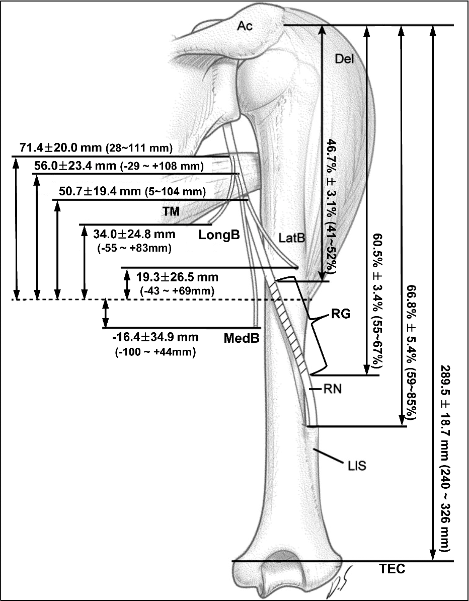 Topographical anatomy of the radial nerve and its muscular branches ...