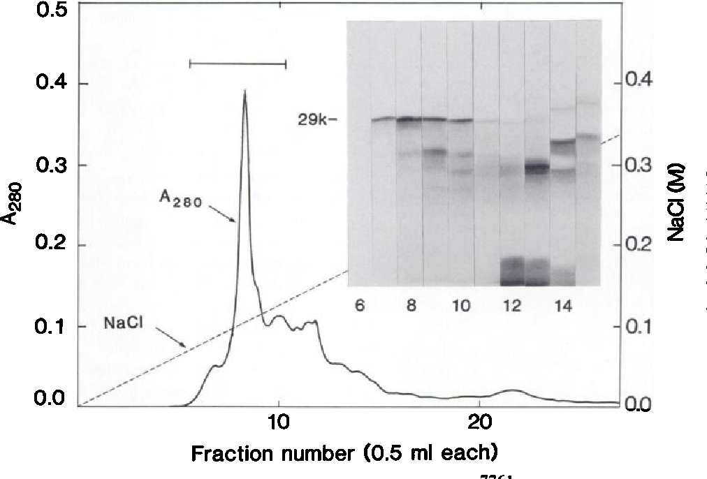 Fig. 3. Anion-exchange HPLC on Shodex QA-824 column of matrin obtained by molecu lar sieve chromatography. The proteinase pool from the Cellulofine GCL2000 column (Fig. 2), which contained 20 mg of protein, was dialyzed against 10 ITIMTris-HCl (pH 7.5) containing 0.01% Brij 35 and applied to the column as described in the text. Inset, SDS-PAGE profiles of the column fractions; abscissa, fractions 6- 15; ordinate, molecular weight in thousands. The proteinase-containing fractions 7-10 were mixed and used for further purification.