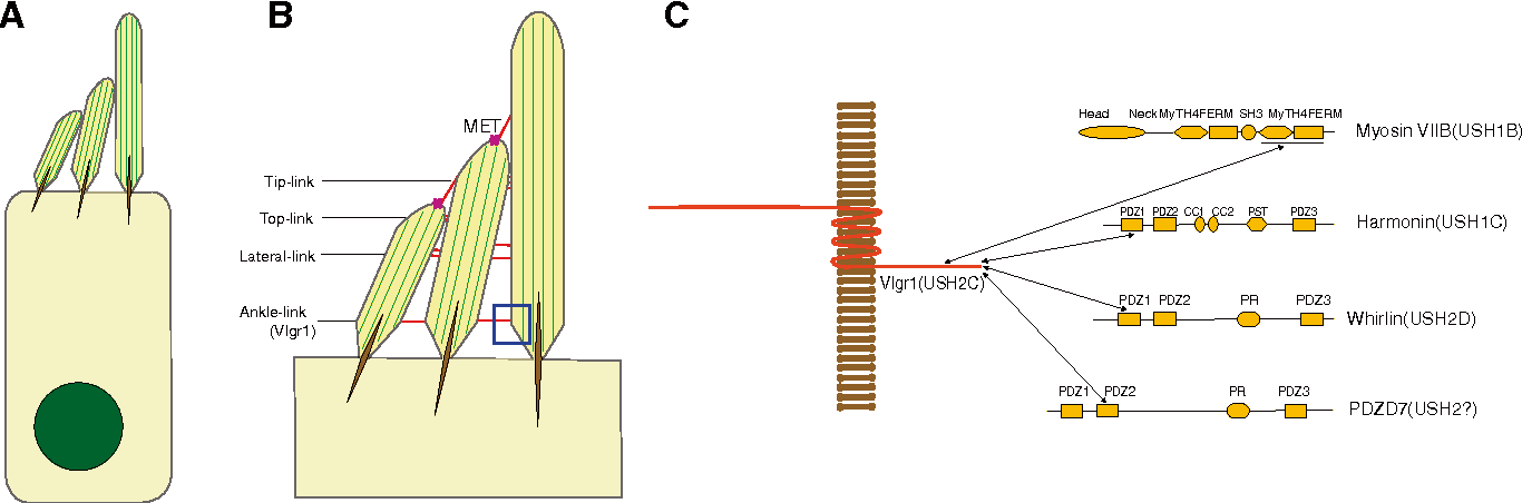 Figure 3 From The Very Large G Protein Coupled Receptor Vlgr1 In