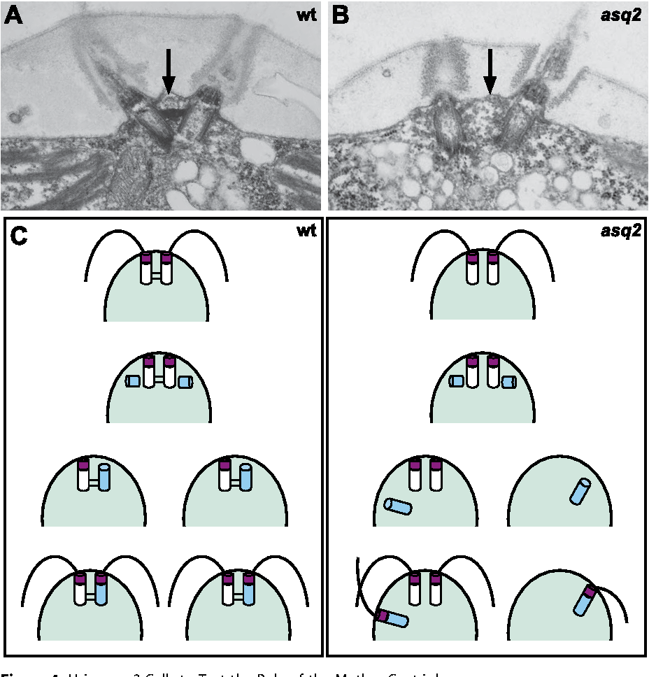 Figure 4. Using asq2 Cells to Test the Role of the Mother Centriole