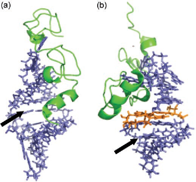 Figure 8. High-resolution structures of (a) NC SL3 (PDB:1A1T) and (b) NC SL2 (PDB:1F6U). The AUA triple base platform is highlighted in orange. The arrows point to the putative binding sites for aminoglycosidic antibiotics.