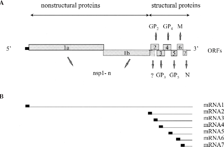 Figure 1 from PRRSV , the virus Janneke - Semantic Scholar