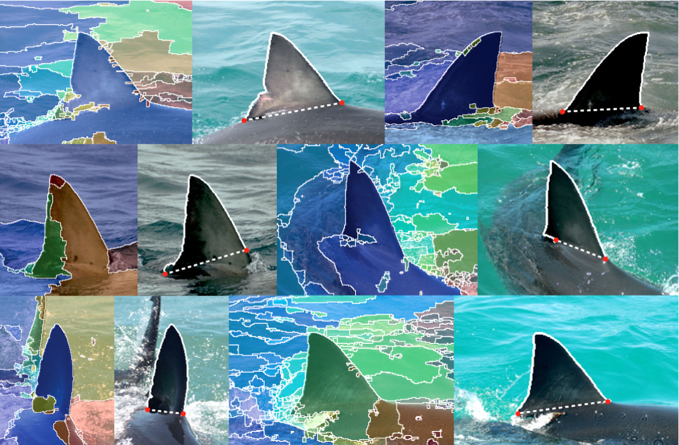Figure 3 for Automated Visual Fin Identification of Individual Great White Sharks