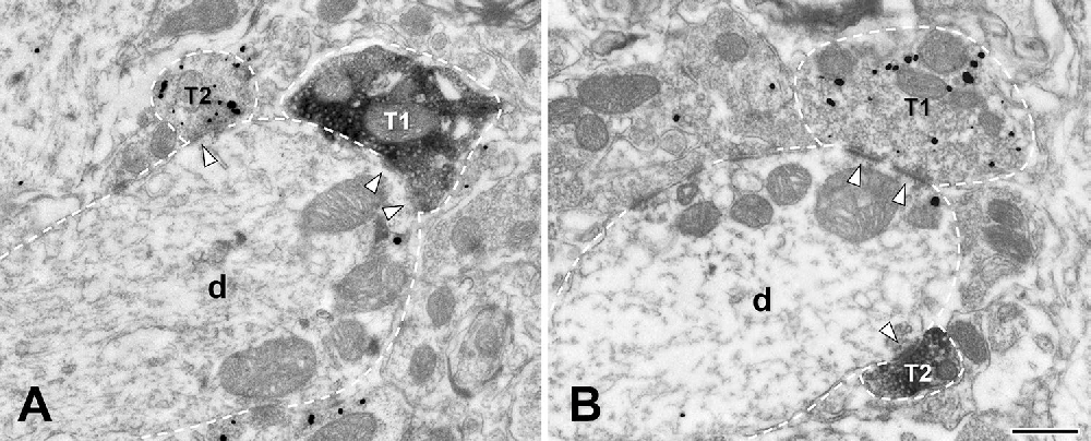 Fig. 3 Electron micrographs showing VGLUT1+ (T1) and VGLUT2+ (T2) boutons labeled in the trigeminal motor nucleus. a VGLUT1 and VGLUT2 are labeled with peroxidase and gold–silver, respectively. b VGLUT1 and VGLUT2 are labeled with gold–silver and peroxidase, respectively. The terminals and their postsynaptic dendrites (d) are outlined with a dashed line; arrowheads point to synapses. Scale bar = 500 nm