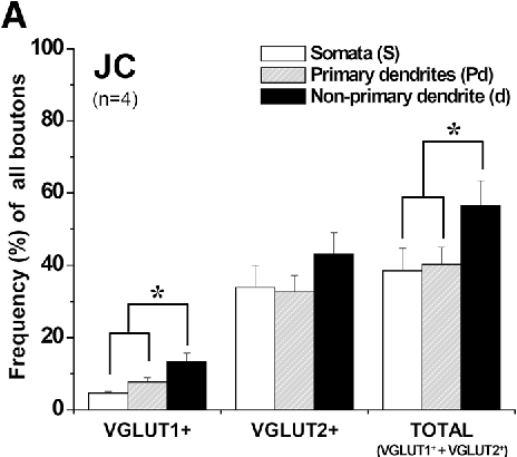 Fig. 7 Histograms showing the frequency (%, mean ± SD) of VGLUT + boutons of all boutons in the somata, primary dendrites, and non-primary dendrites of the JC (a) and JO (b) motoneurons. The frequency of VGLUT1 + boutons on the JC motoneurons is significantly higher on the non-primary dendrites than on the somata or primary dendrites. The frequency of VGLUT2 + boutons on the JC motoneurons and the frequency of VGLUT1 + and VGLUT2 + bou-