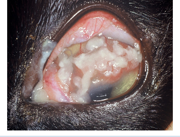 ophthalmic immunology and immune mediated disease an issue of veterinary clinics small animal practice