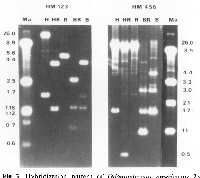 Fig. 3. Hybridization pattern of Odontophrynus americanus 2n (Cordoba). Southern blots containing 2 gg of total DNA digested with restriction enzymes (H HindIII; R EcoRI; B BamHI) were hybridized with probes HM123 and HM456. Ma hybridization marker
