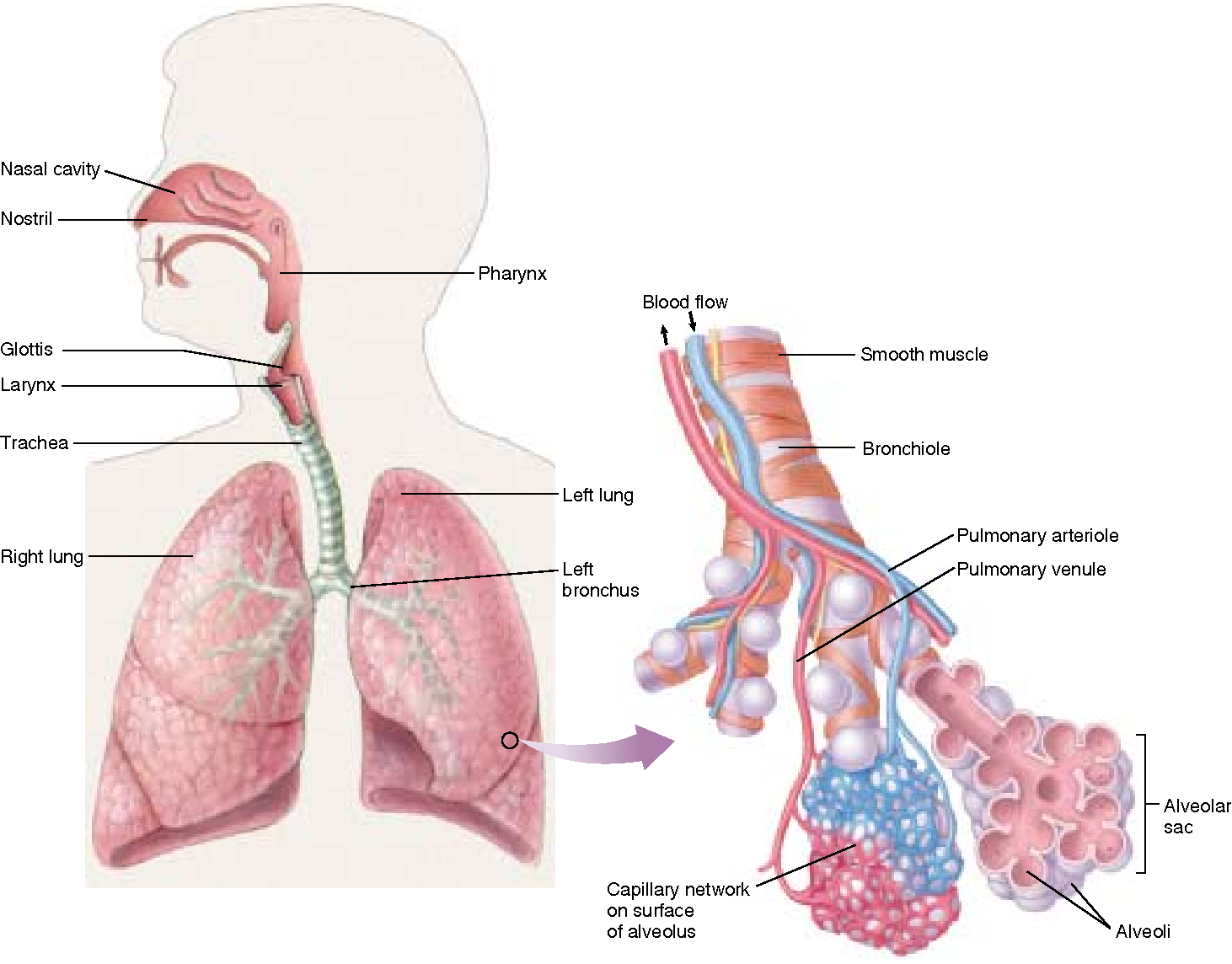 figure 53 9 the human respiratory system and the structure of the mammalian  lung  the lungs