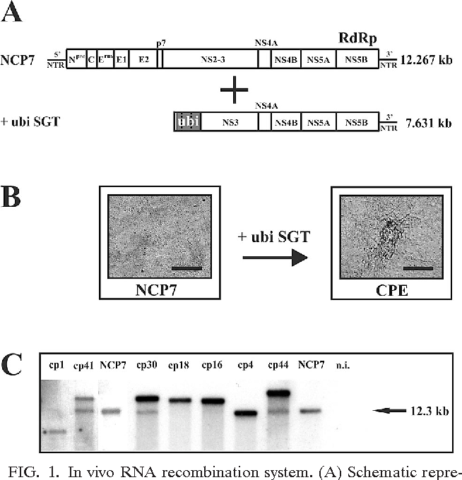 FIG. 1. In vivo RNA recombination system. (A) Schematic representation of the recombination partners. The RNA genome of noncp BVDV strain NCP7 contains one large open reading frame (box) flanked by 5 and 3 NTRs. The positions of the viral structural proteins (capsid protein C, envelope proteins Erns, E1, and E2) and nonstructural proteins (Npro, p7, NS2-3, NS4A, NS4B, NS5A, and NS5B) within the viral polyprotein are indicated. The synthetic, replicationincompetent transcript ubi SGT encodes the C-terminal five amino acids of NS2, a C-terminal fragment, as well as two complete monomers of cellular ubiquitin (ubi; dark gray box), and viral proteins NS3, NS4A, NS4B, NS5A, and NS5B. The transcript ubi SGT also comprises the 3 NTR but lacks the entire 5 NTR and thereby cis-acting signals essential for translation and replication. The lengths of the bars are not drawn to scale. The sizes of the NCP7 genome and ubi SGT are indicated in kilobases on the right. (B) MDBK cells 6 days after infection with NCP7 showing no signs of CPE (left) and NCP7-infected MDBK cells 4 days after transfection with ubi SGT RNA (right). Note the CPE produced after transfection with ubi SGT. Scale bar, 100 m. (C) Northern blot analysis of total RNA from MDBK cells infected with NCP7 and seven independently emerged cp viral genomes (cp1, cp4, cp16, cp18, cp30, cp41, and cp44) and from noninfected (n.i.) MDBK cells. Preparation of RNA, gel electrophoresis, radioactive labeling of the probes, hybridization, and posthybridization washes were performed as described previously (7). Migration position and size (in kilobases) of the viral genomic RNA of NCP7 are indicated on the right. Note the various genomic sizes of the emerged cp viral genomes in comparison to the genomic RNA of NCP7.