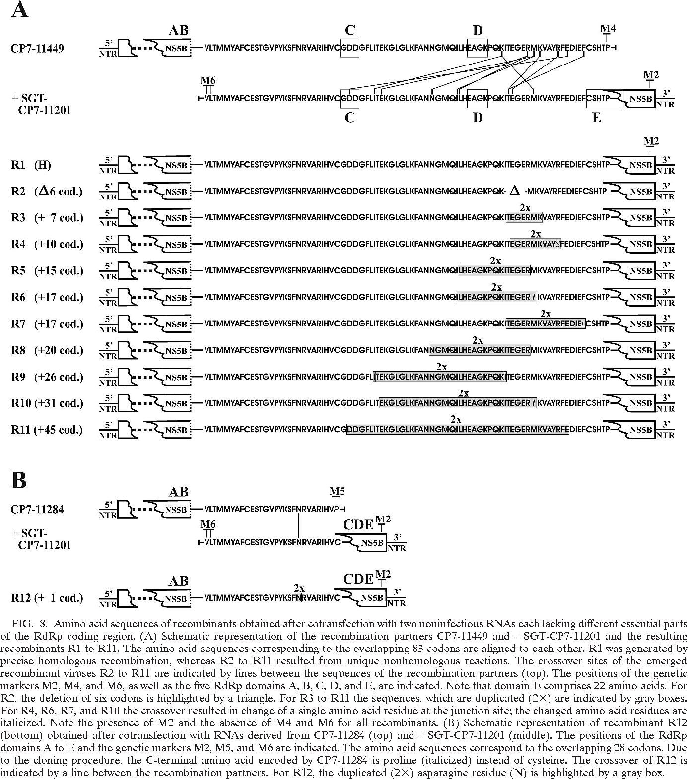 FIG. 8. Amino acid sequences of recombinants obtained after cotransfection with two noninfectious RNAs each lacking different essential parts of the RdRp coding region. (A) Schematic representation of the recombination partners CP7-11449 and SGT-CP7-11201 and the resulting recombinants R1 to R11. The amino acid sequences corresponding to the overlapping 83 codons are aligned to each other. R1 was generated by precise homologous recombination, whereas R2 to R11 resulted from unique nonhomologous reactions. The crossover sites of the emerged recombinant viruses R2 to R11 are indicated by lines between the sequences of the recombination partners (top). The positions of the genetic markers M2, M4, and M6, as well as the five RdRp domains A, B, C, D, and E, are indicated. Note that domain E comprises 22 amino acids. For R2, the deletion of six codons is highlighted by a triangle. For R3 to R11 the sequences, which are duplicated (2 ) are indicated by gray boxes. For R4, R6, R7, and R10 the crossover resulted in change of a single amino acid residue at the junction site; the changed amino acid residues are italicized. Note the presence of M2 and the absence of M4 and M6 for all recombinants. (B) Schematic representation of recombinant R12 (bottom) obtained after cotransfection with RNAs derived from CP7-11284 (top) and SGT-CP7-11201 (middle). The positions of the RdRp domains A to E and the genetic markers M2, M5, and M6 are indicated. The amino acid sequences correspond to the overlapping 28 codons. Due to the cloning procedure, the C-terminal amino acid encoded by CP7-11284 is proline (italicized) instead of cysteine. The crossover of R12 is indicated by a line between the recombination partners. For R12, the duplicated (2 ) asparagine residue (N) is highlighted by a gray box.