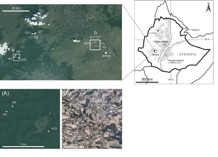Figure 1 Afromontane rainforests in Southwest-Ethiopia and sampled Coffea arabica populations: forest coffee (closed circles) and semi-forest coffee (open circles). Insets show detail of the forest coffee (A) and of the semi-forest coffee landscape (B). Satellite imagery © 2012 DigitalGlobe, GeoEye and Cnes/Spot Image, via Google Earth.