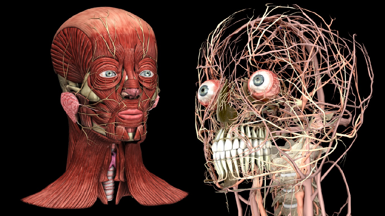 Real-time Medical Visualization of Human Head and Neck Anatomy and ...