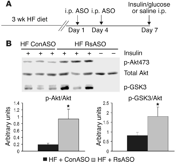 Figure 4 Effect of resistin antisense on phosphorylation of hepatic Akt and GSK3. (A) Experimental design for treatment with resistin ASO and acute stimulation with insulin (100 mU). (B) Effect of resistin ASO on phosphorylation of Akt on serine 473 (p-Akt473) and GSK3 (p-GSK3) in liver extracts from HF-fed mice treated with ConASO and RsASO. Unstimulated samples, saline alone, are included as negative controls. *P < 0.05 vs. HF + ConASO group.