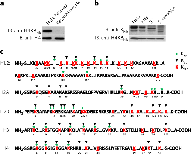 Figure 3   Histone Khib marks in eukaryotic cells. (a) Western blotting analysis of the recombinant H4 and Hela cell core histones using a