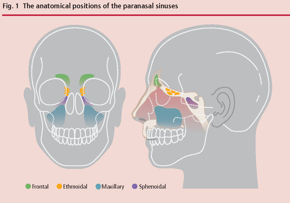 Figure 1 From Oral Surgery Ii Part 2 The Maxillary Sinus Antrum