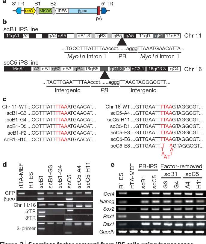 piggyBac transposition reprograms fibroblasts to induced pluripotent