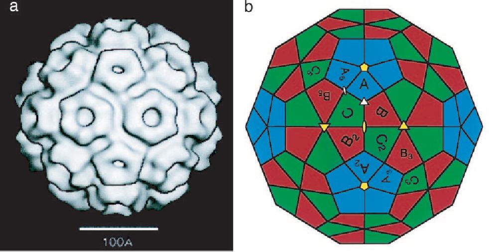 Icosahedral Symmetry Of A Viral Capsid Cryo