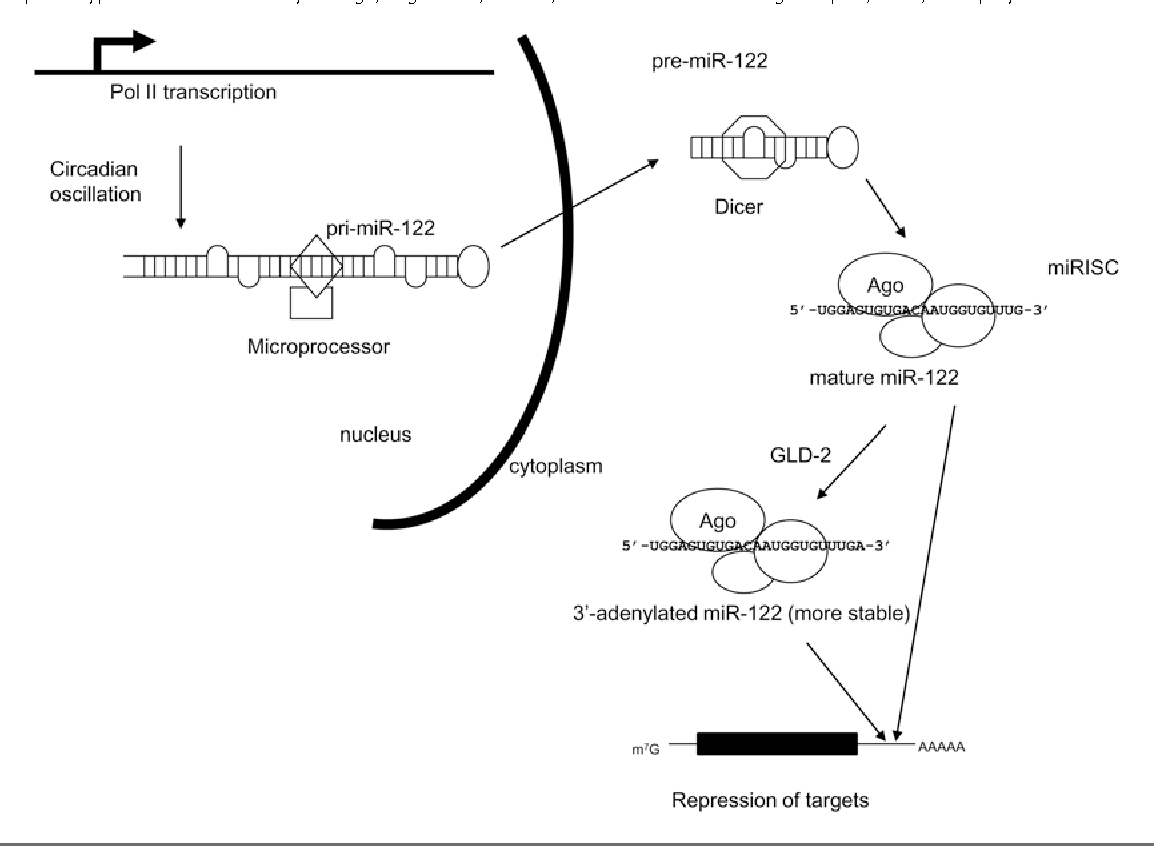 Figure 1 From Regulation And Biological Function Of The Liver