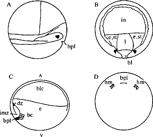 Figure 4 From Features Of Embryonic Induction