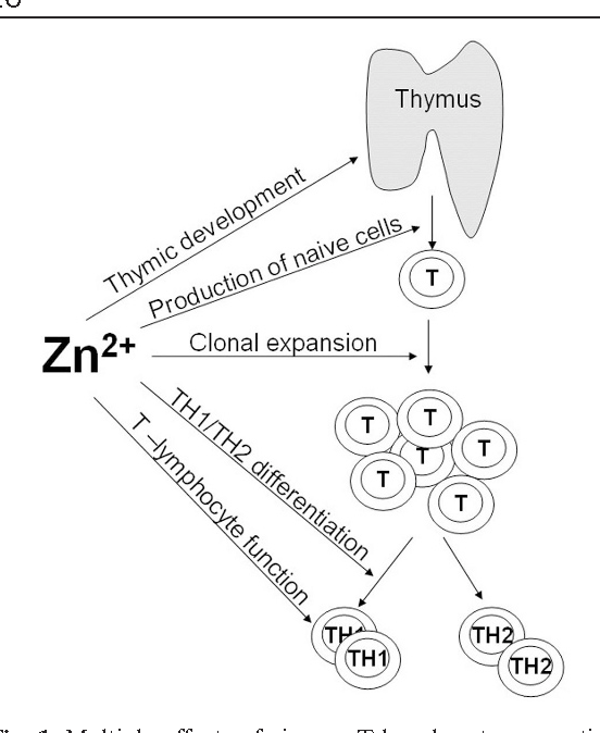 Modulating The Immune Response By Oral Zinc Supplementation A