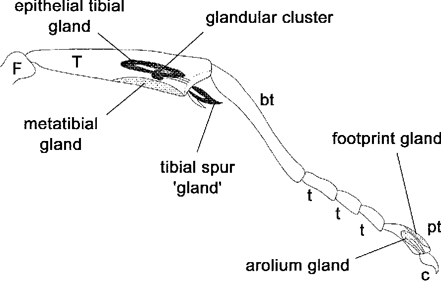 Figure 1 From Novel Exocrine Glands In The Legs Of The Ponerine Ant