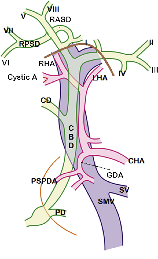 Biliary Tract Anatomy And Its Relationship With Venous Drainage