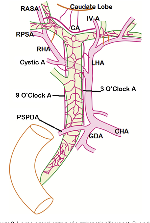 Biliary tract anatomy and its relationship with venous drainage ...