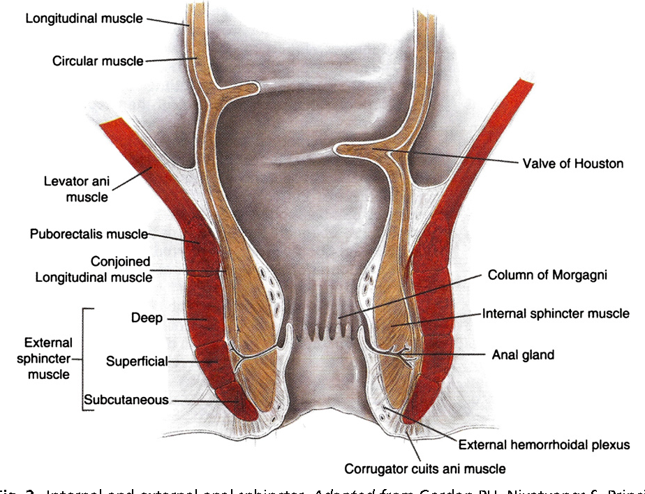 Figure 2 From Anorectal Anatomy And Physiology Semantic Scholar