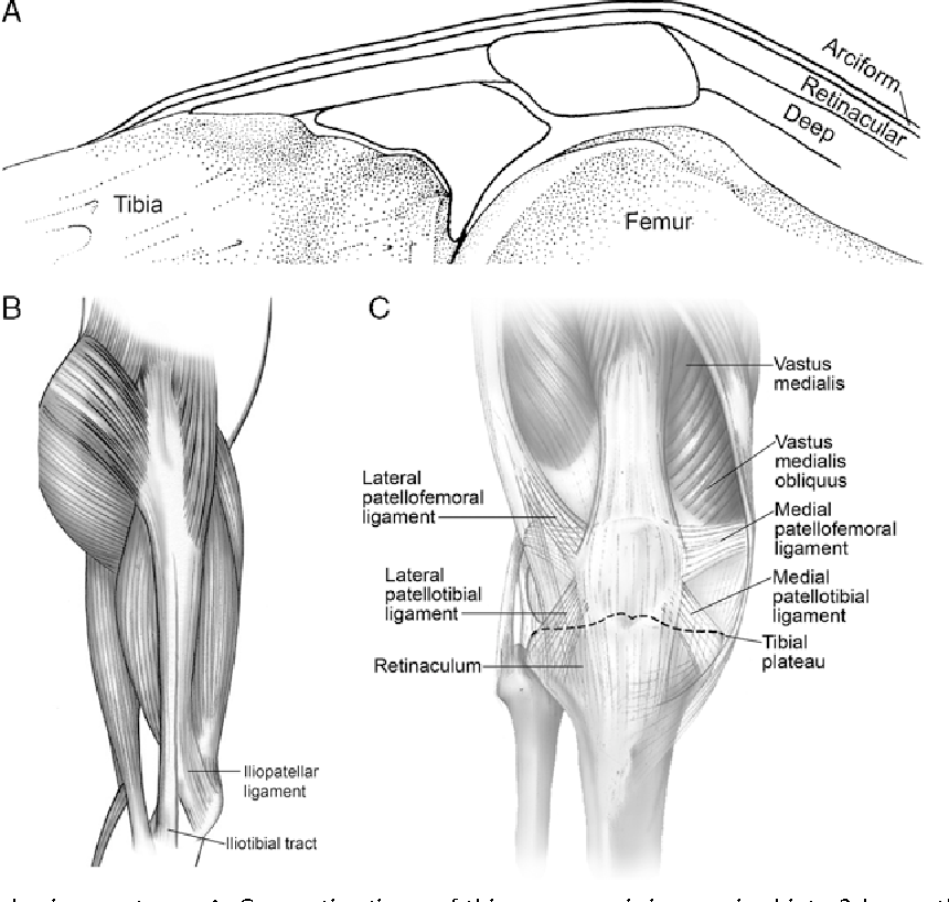 Figure 2 from Normal anatomy and biomechanics of the knee ...