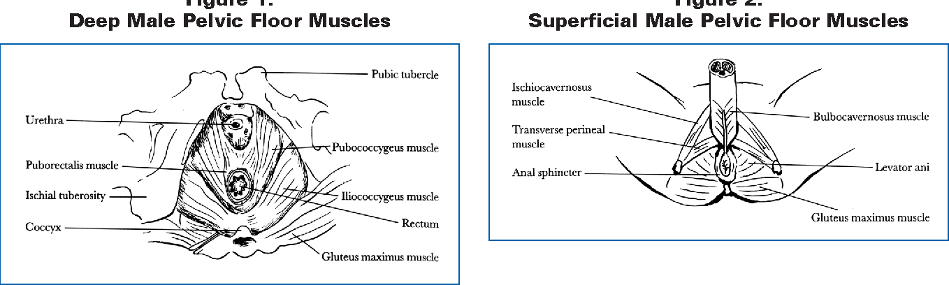 Figure 1 From Male Pelvic Floor History And Update Semantic Scholar