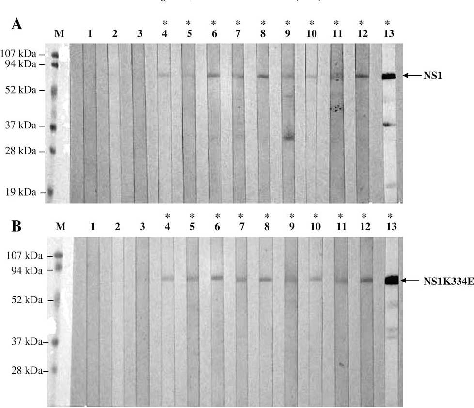 Fig. 2. Immunoblots of anti-B19-NS1/anti-B19-NS1K334E IgM and IgG. Purified (A) B19-NS1 and (B) B19-NS1K334E recombinant proteinswere probedwith purified IgM or IgG from patients with a B19 recent infection diagnostic pattern or from RA patients with a B19 seronegative diagnostic pattern that were randomly selected. Lanes 1 to 3 represent the results of immunoblots probed with serum from patients with a B19 seronegative diagnostic pattern. Lanes 4 to 6 and 7 to 8 indicate the results of immunoblots probed with purified IgM and IgG from patients with a B19 recent infection diagnostic pattern, respectively. Lanes 9 to 10 and 11 to 12 indicate the results of immunoblots probed with purified IgM and IgG from patients with RA with a B19 seronegative diagnostic pattern, respectively. Lane 13 is the result of an immunoblot probed with rabbit antisera immunized with B19-NS1. ⁎ indicates the positive reactivity.