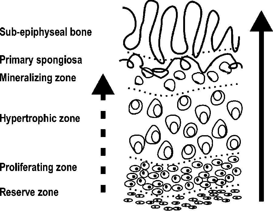 Bone Diagram