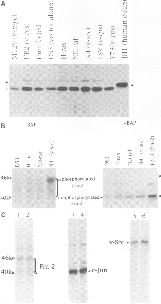 Figure 5 from Analysis of AP-1 function in cellular