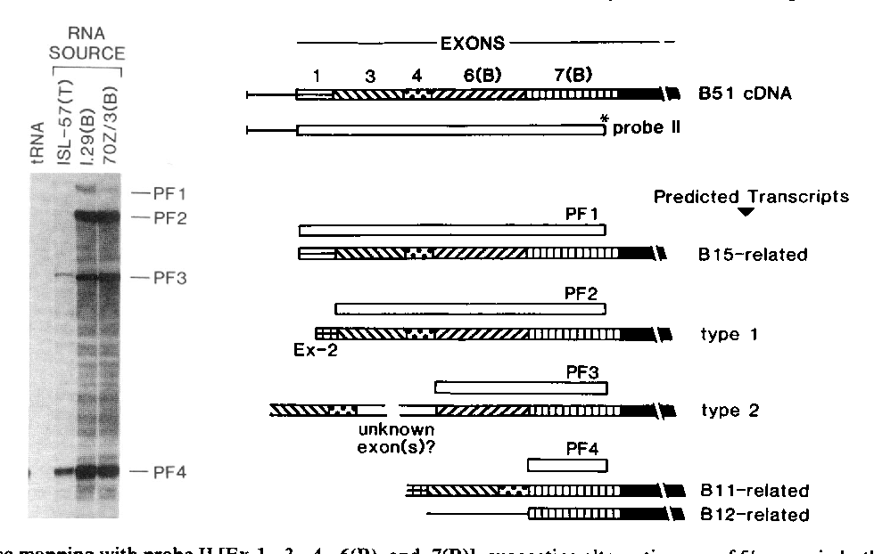 Figure 4 from Alternative use of 5' exons in the ... on