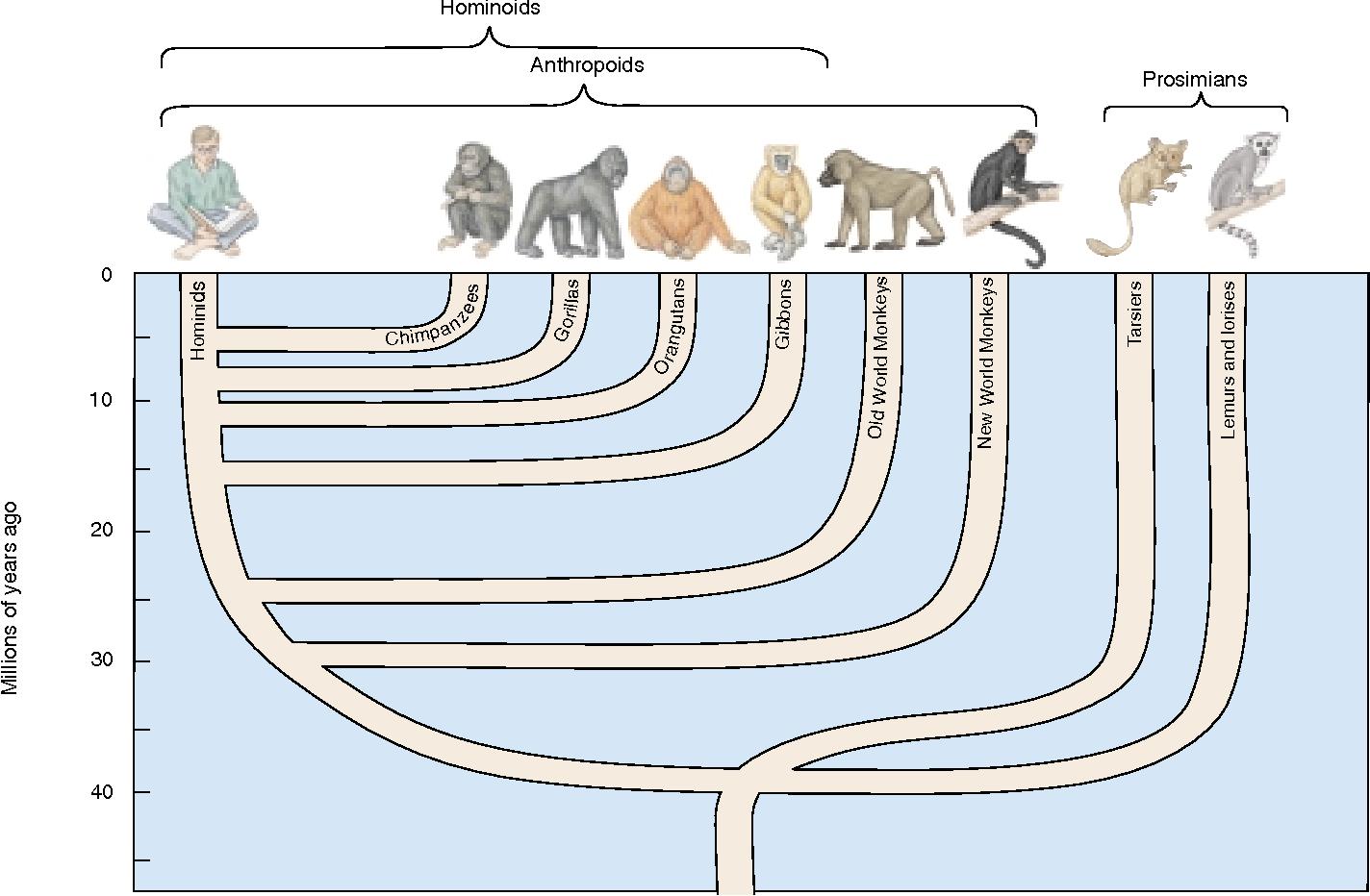 Pohon evolusi manusia