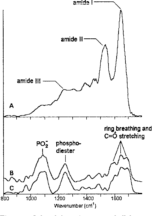 Figure 4 From Infrared Spectroscopy Of Human Tissue V Infrared