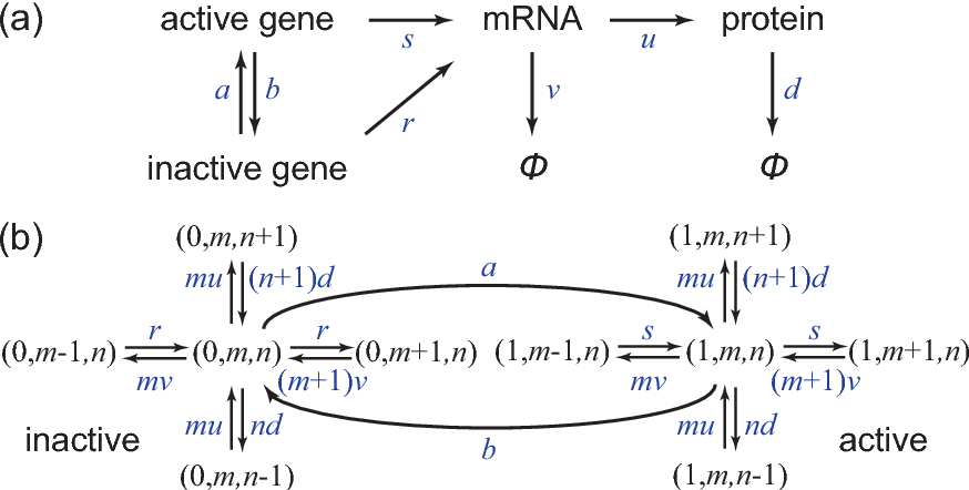 Figure 2. Models of stochastic gene expression. (a) The standard model of single-cell stochastic gene expression with three stages: gene switching, transcription, and translation. (b) The transition diagram of the Markov model.