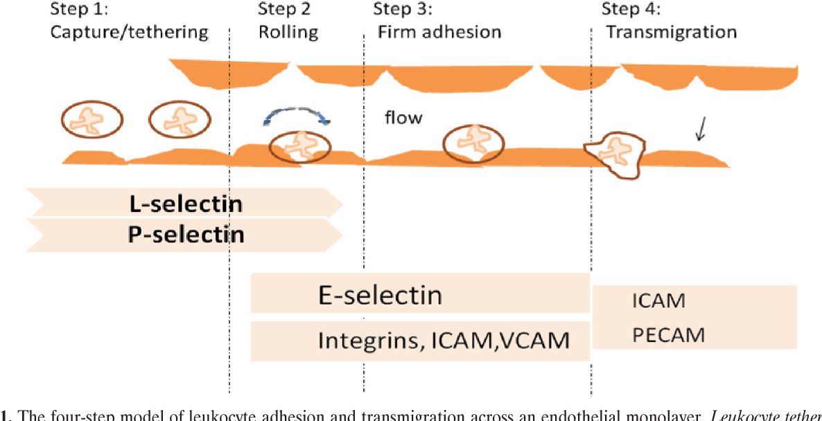 Figure 1. The four-step model of leukocyte adhesion and transmigration across an endothelial monolayer. Leukocyte tethering and rolling (steps 1 and 2) are mediated primarily by selectin–carbohydrate interactions. Firm adhesion (step 3) follows if leukocytes encounter activating signals while rolling along the endothelium. Activation-dependent attachment of b2 integrins (Mac-1, LFA-1) on neutrophils to endothelial ICAM-1 supports this firm or secondary cell adhesion to the vessel wall. Transmigration (step 4) may occur if a favorable chemotactic gradient exists across the monolayer. Platelet/endothelial cell adhesion molecule 1 (PECAM-1) expressed at endothelial cell junctions appears to be required for transmigration by binding homophilically to PECAM-1 expressed on leukocytes.