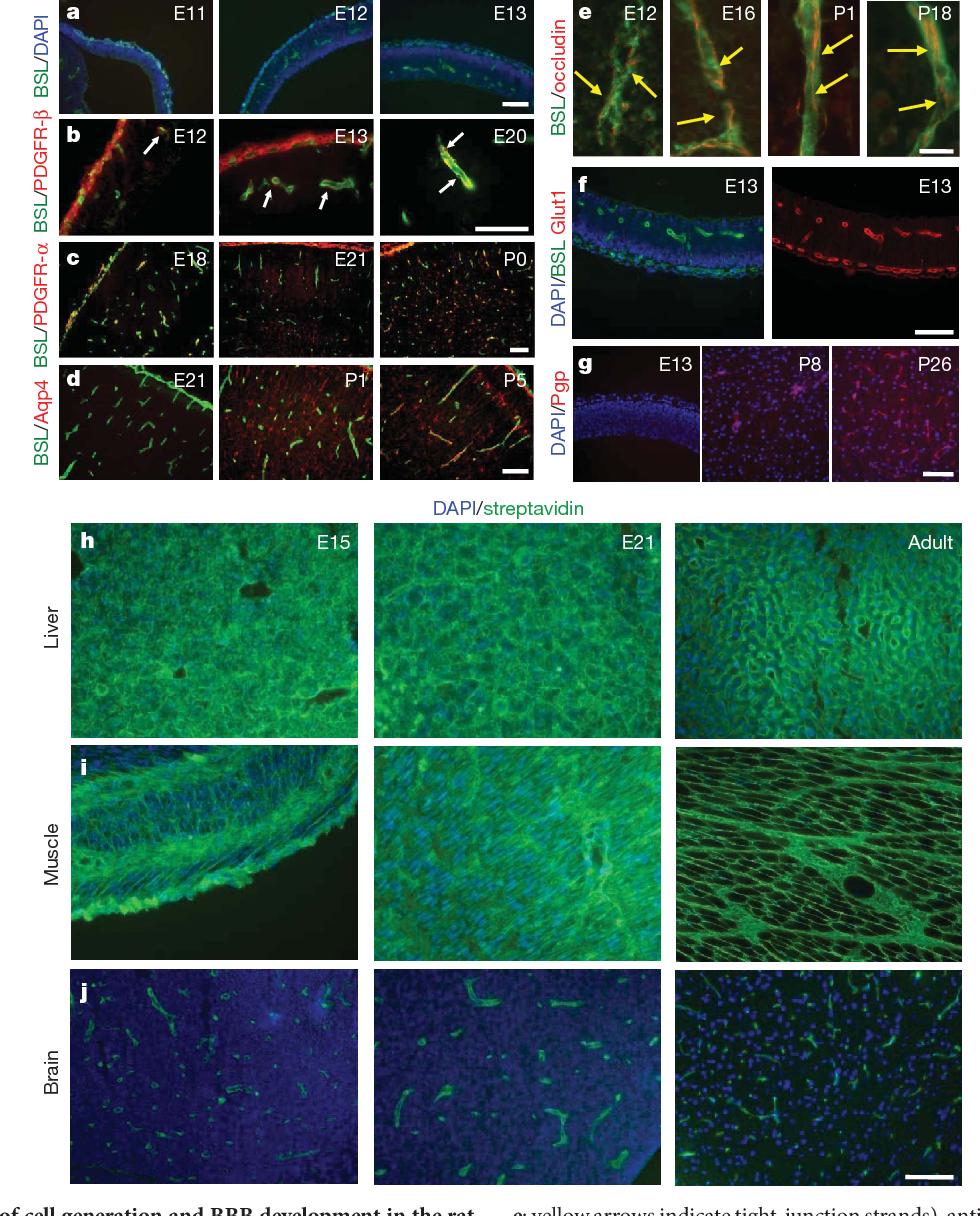 Luxury Blood Brain Barrier Anatomy Model - Physiology Of Human Body ...