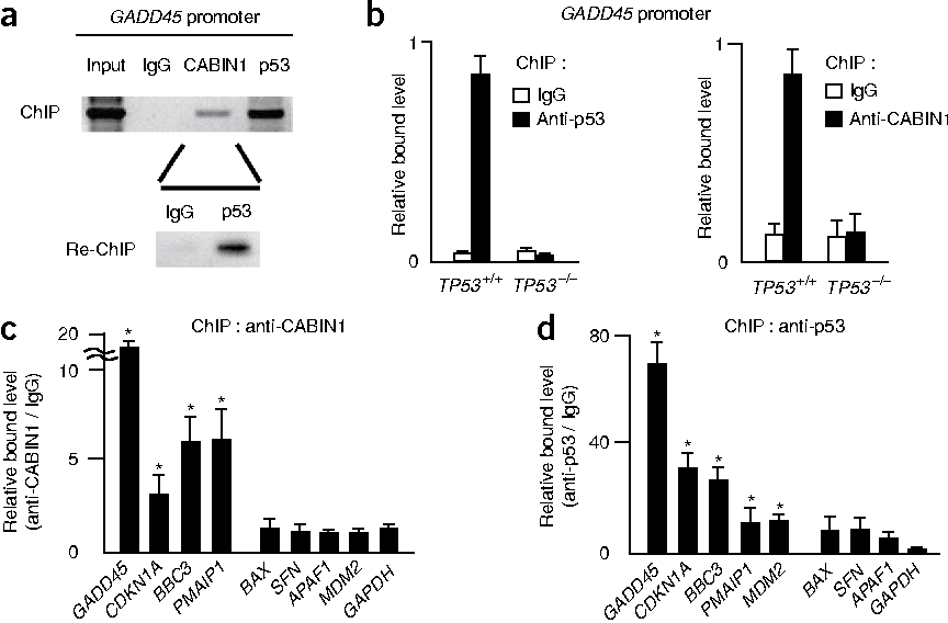Figure 3 CABIN1 occupies a subset of p53 target promoters in the absence of genotoxic stress. (a) ChIP and re-ChIP show that CABIN1 and p53 coexist on the GADD45 promoter. (b) Recruitment of CABIN1 to the GADD45 promoter is dependent on p53 occupancy. HCT116 (TP53+/+) and HCT116 (TP53–/–) cells were ChIPed with anti-p53 or anti-CABIN1 antibodies. ChIPed DNA was analyzed by real-time qPCR. (c,d) CABIN1 occupies a subset of p53 target promoters. CABIN1 (c) and p53 (d) occupancy on various p53 target promoters in HCT116 cells was determined by ChIP assays. *P < 0.05.