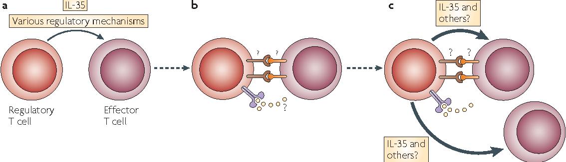 how regulatory t cells work semantic scholar
